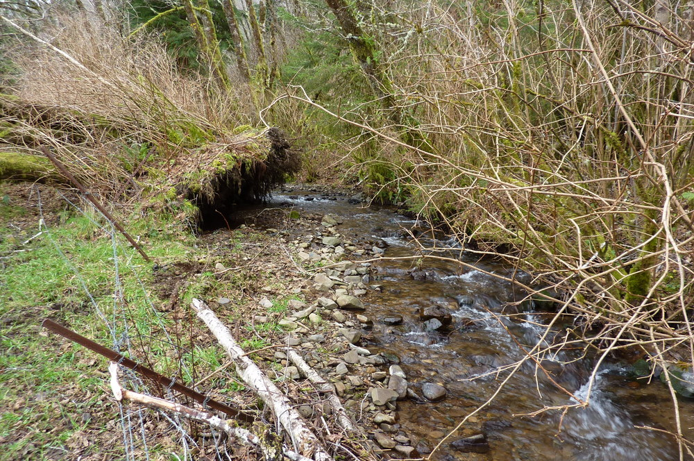 Our stream.  It is a short-stretch coastal stream with no users but the Oregon Coast Wasabi Farm.  The water is absolutely pristine.