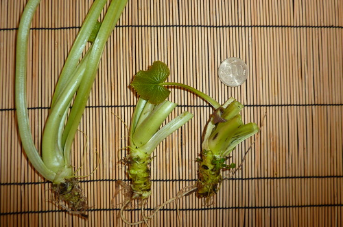 Showing plant starts as shipped.  Note the trimmed stems.  The garden plants in the first photo were just like these when planted.  See the blog for more information.