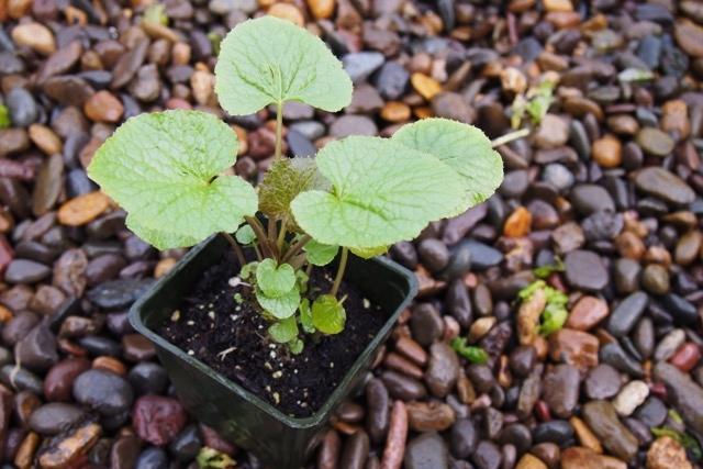 BUY PLANT STARTS