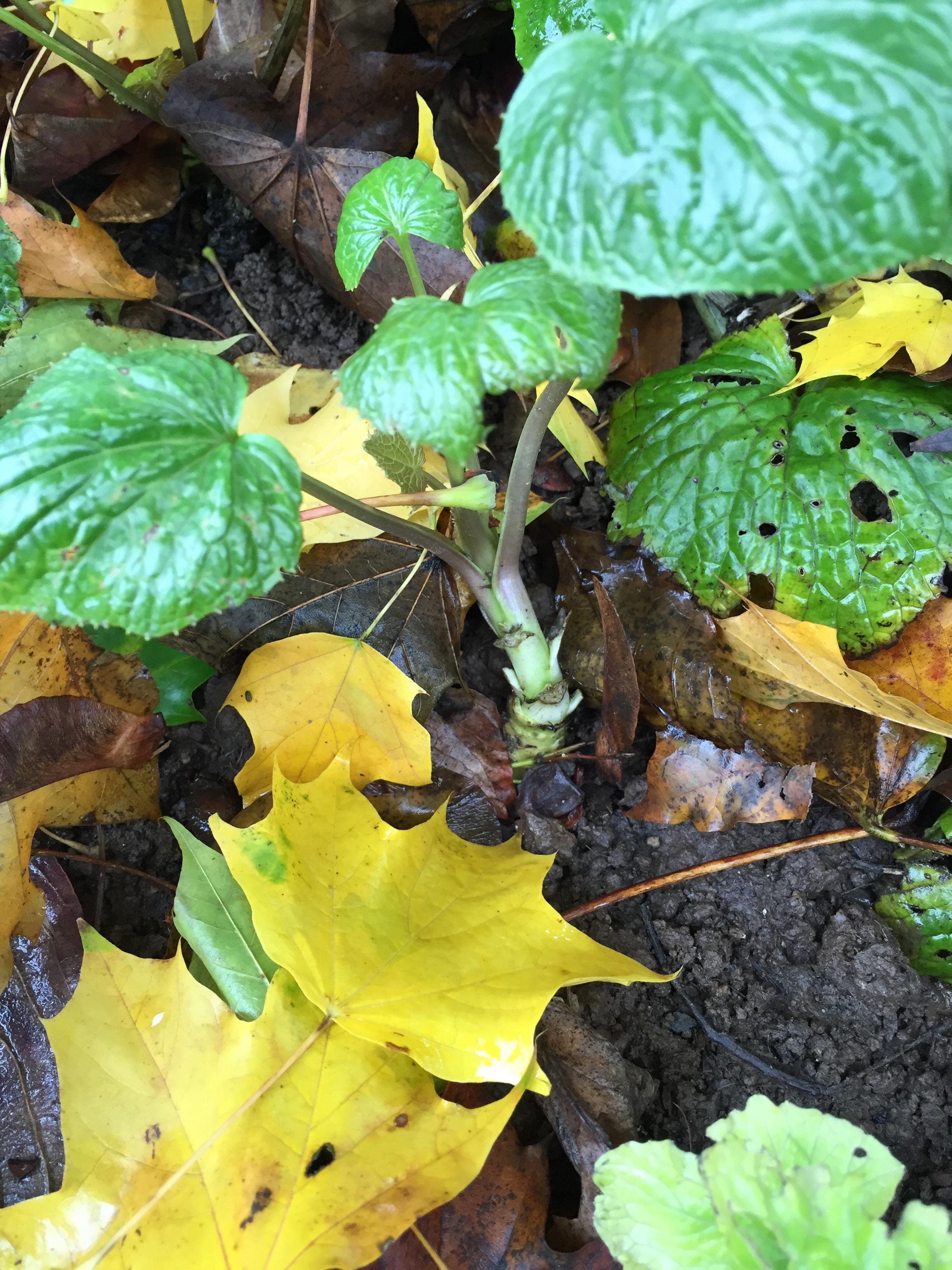 Garden Wasabi Nov 2015-2