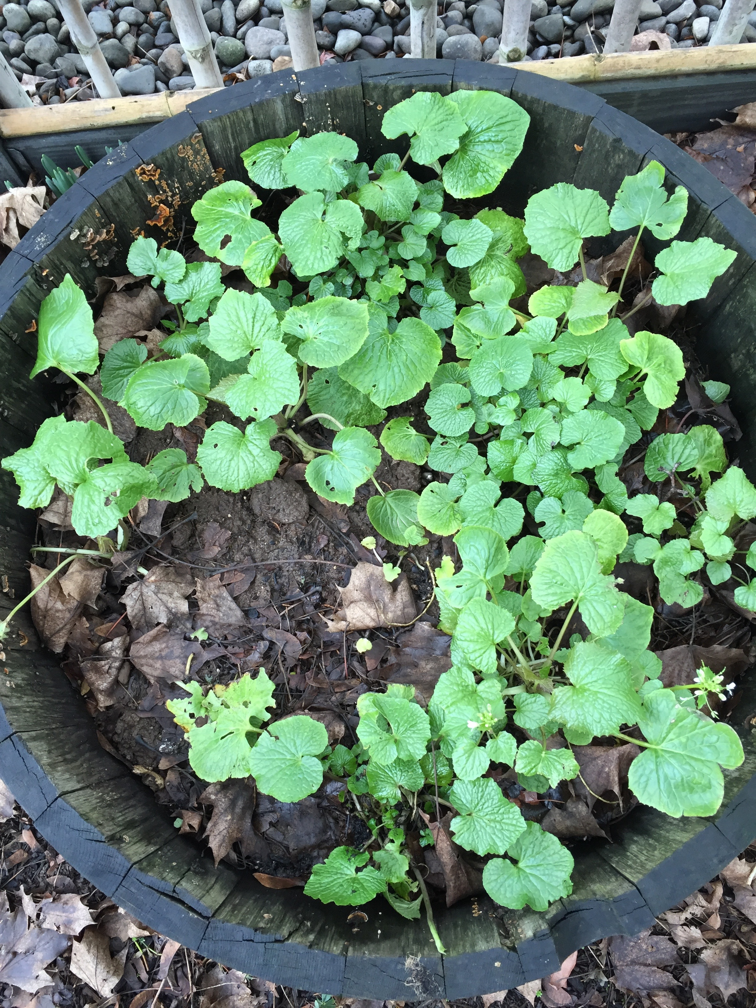 Garden Wasabi Plants Jan302016.jpg