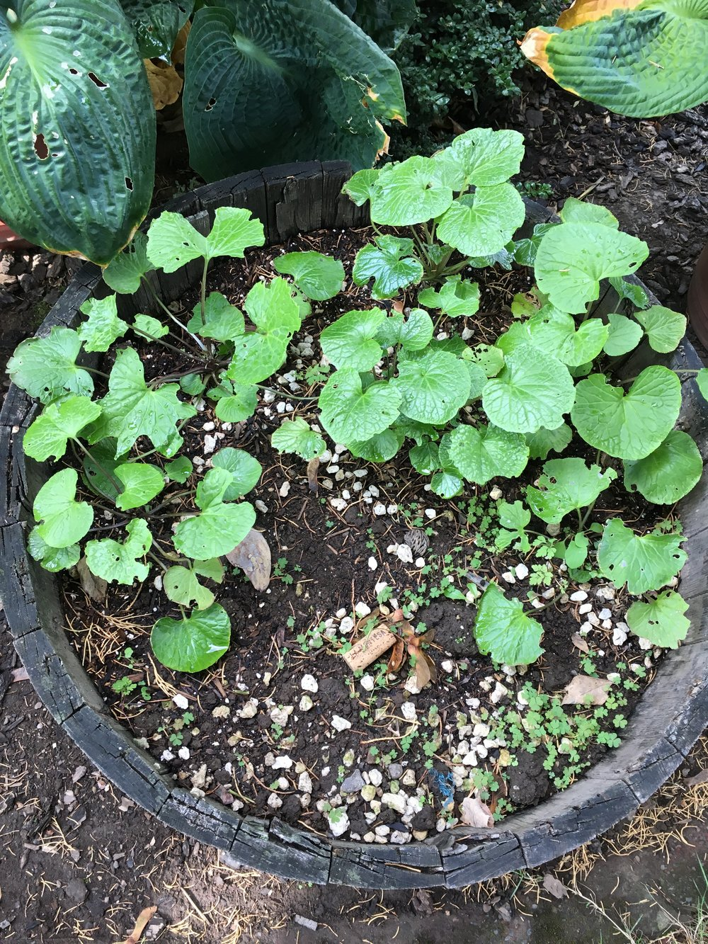 "Garden wasabi in Barrel ""B"".  The second barrel planted in August 2016.  On Oct. 1 2016."