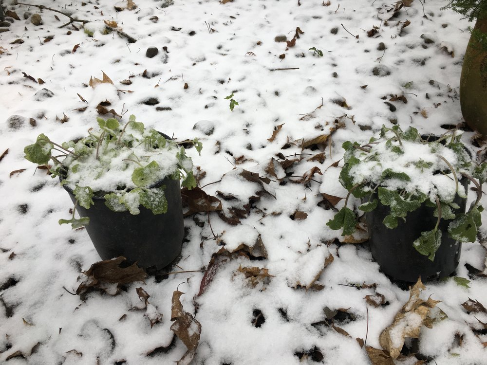 Potted Plants: Dec. 8 2016.  Temp. +28dF with light snow approximately 0.25 inches.  Note the drooping stems and wilted leaves.  These two were potted in the early summer of 2016 at Frog Eyes Wasabi Farm and then brought to Frog Eyes HQ in Portland Oregon in about late September 2016.