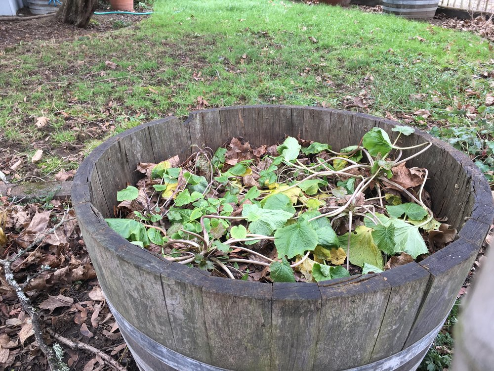 Barrel #2 plants on Jan. 2 2016.  These were left uncovered as an experiment to determine if any difference is observed between the potted and barrel plants and the uncovered and covered potted plants.   These temperatures, and particularly the duration are quite outside the typical wasabi preference (and frankly outside of mine as well).  It will be interesting to observe the recovery process.