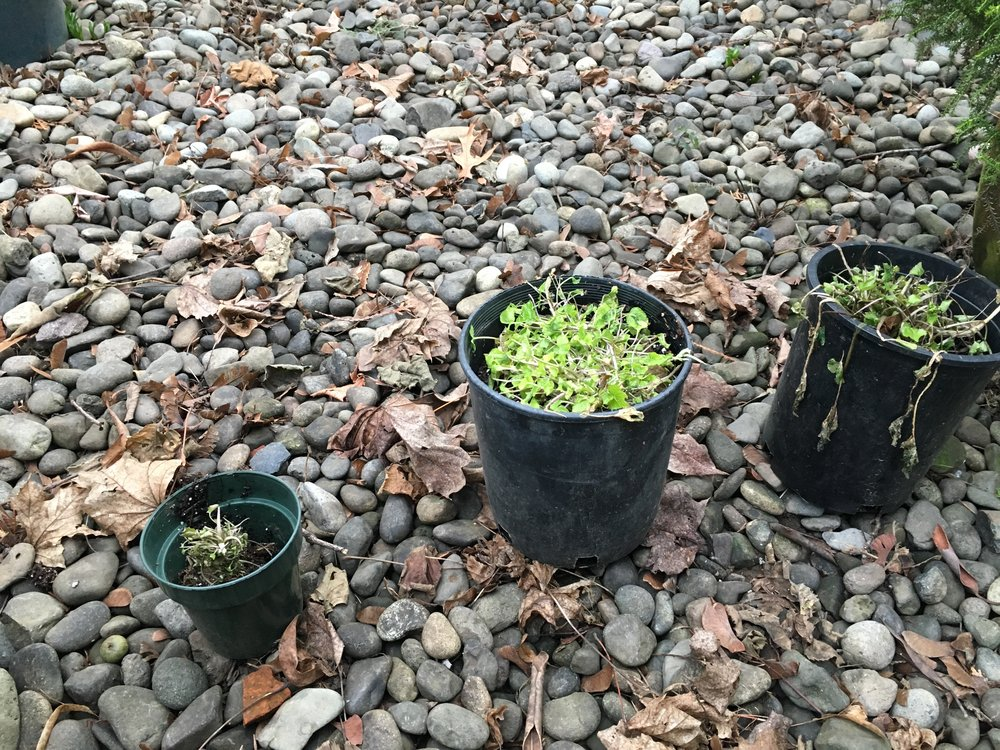 Jan. 25 2017: They seem to have all survived!  The small one on the left was turned over and fell out of the pot.  I was at the farm and didn't re-plant it for a few days, at least one of which had a night that dropped below freezing with exposed roots.  They may not be totally happy, but they seem to have survived and are making a go at it.  Go little wasabi plants go!  The one that was wrapped, the middle one seems to be the happiest with greener leaves.  But, both the larger potent plants are, just this week, producing flower buds!  This plant amazes me at every turn.