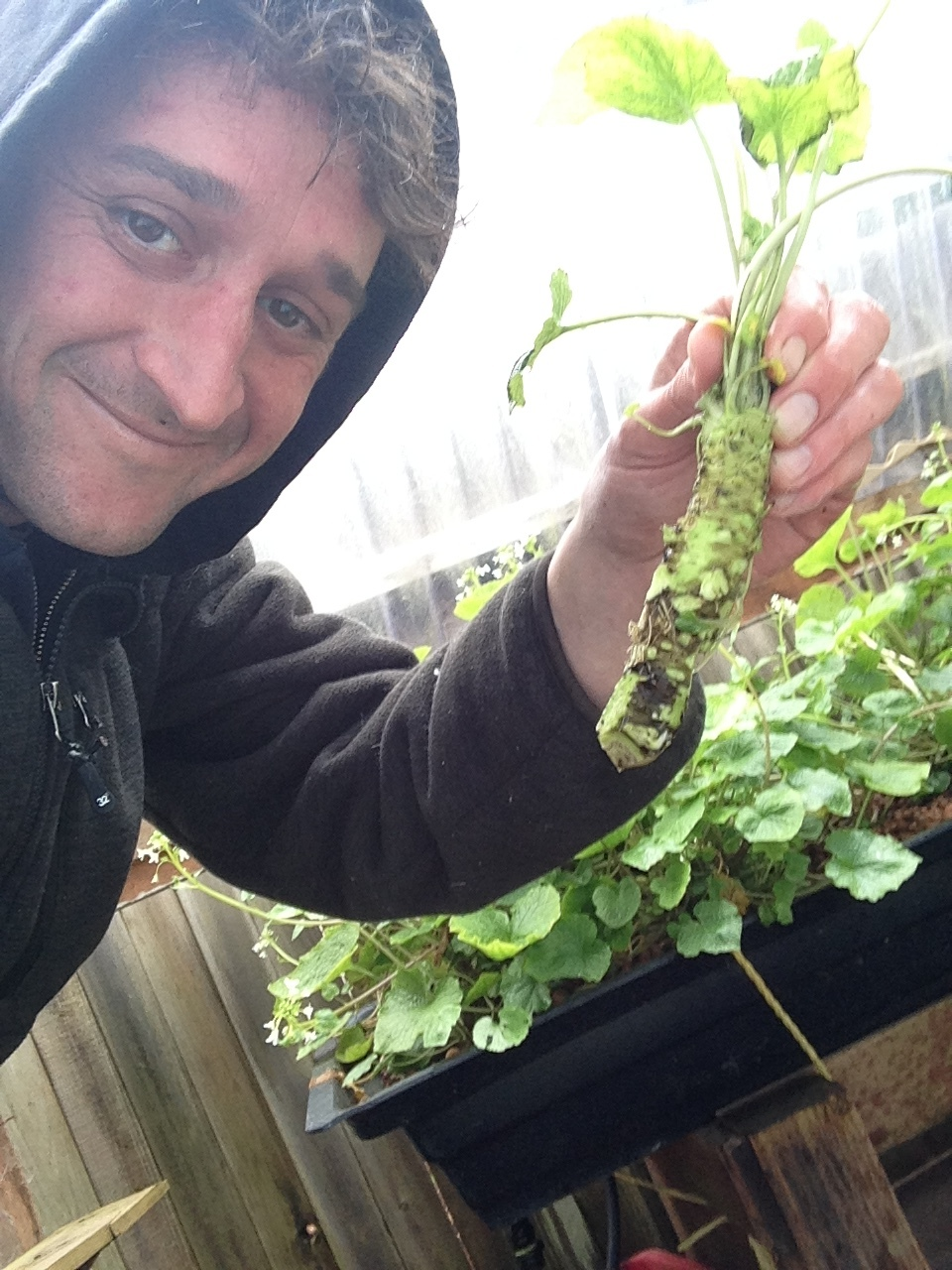 """ I finally did it! My first ""big"" harvest after two years:) Thank you so much for your dedication and education for this plant. It has been a great gardening experience!  Best wishes Robbie (from eureka ca;)""    That looks a very healthy and tasty wasabi there Mr. Olson!"