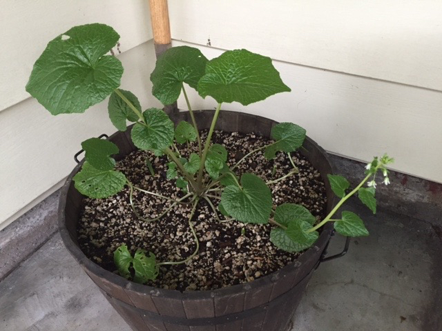 Growing in the corner of the house in a shady spot and a wine barrel.