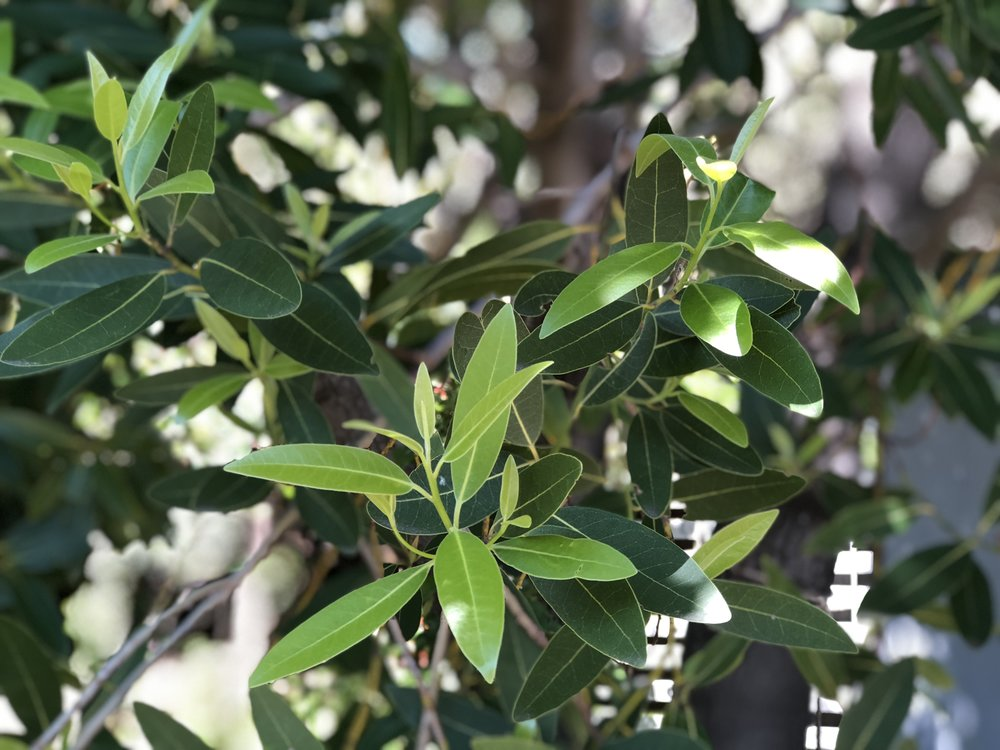 Bay Leaf Tea - Umbellularia Californica
