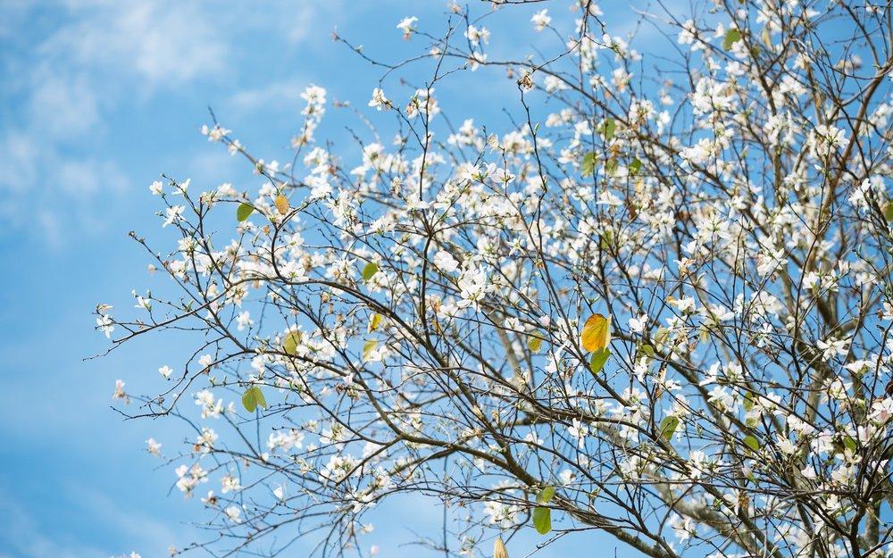 Hoa ban trắng Đà Lạt - Huyền thoại loài hoa chung thuỷ