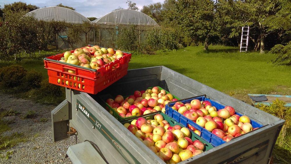apple harvest 2018.jpeg
