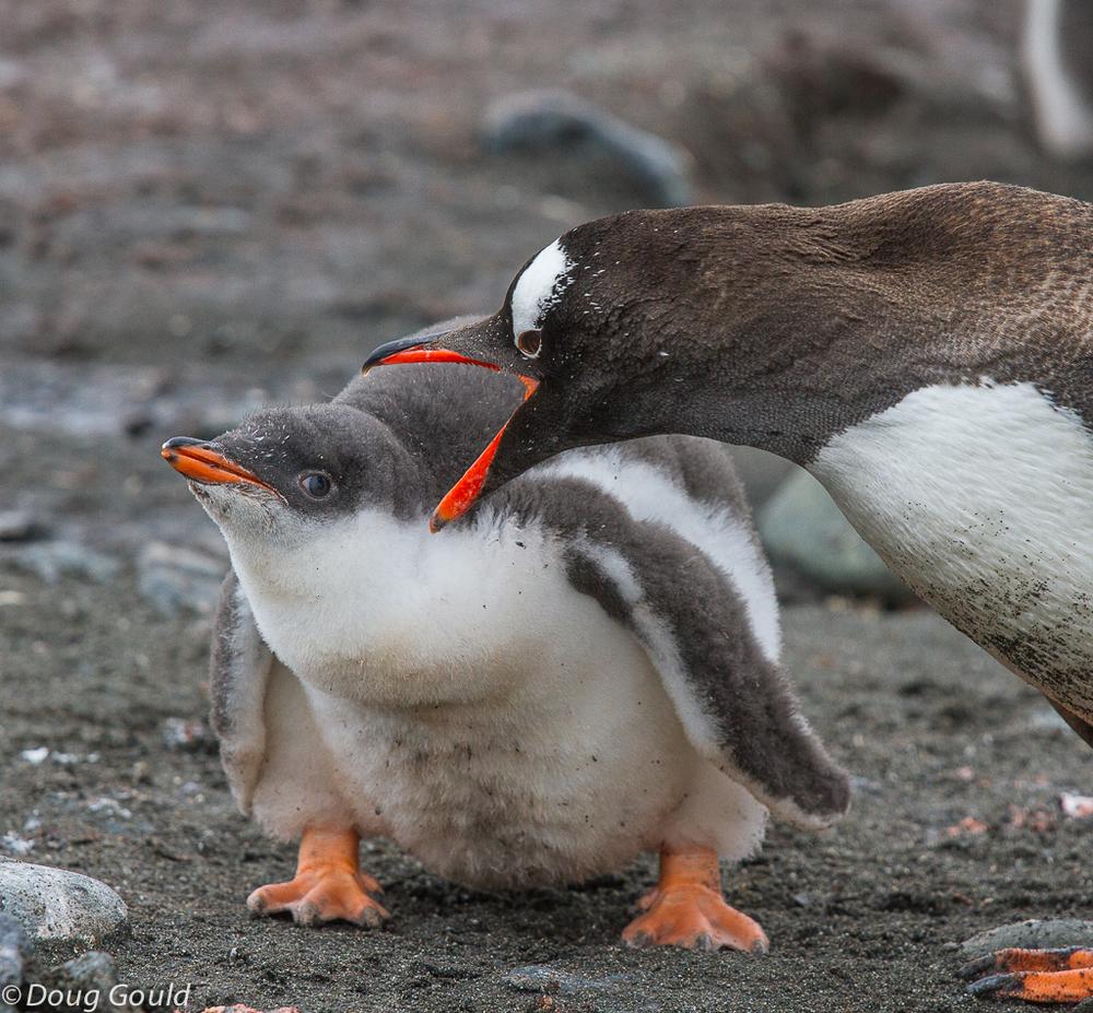 penguins (4 of 13).jpg