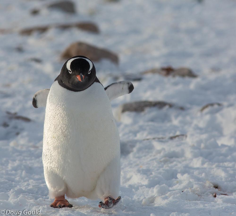 penguins (13 of 13).jpg