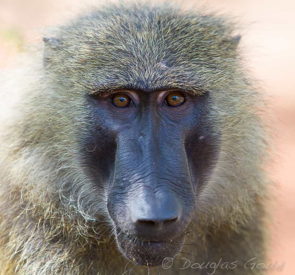 baboon (1 of 1).jpg