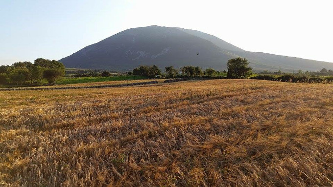 Nephin Whiskey barley almost ready for harvesting in Autumn.