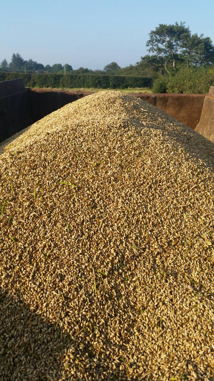 Nephin barley harvested and ready to be sent for malting