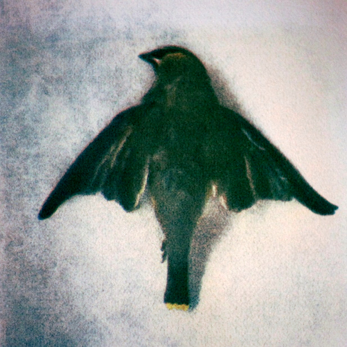WAXWING III,  from the  Still Lives  series.  Tri-color gum bichromate.  Limited Edition 4/10.
