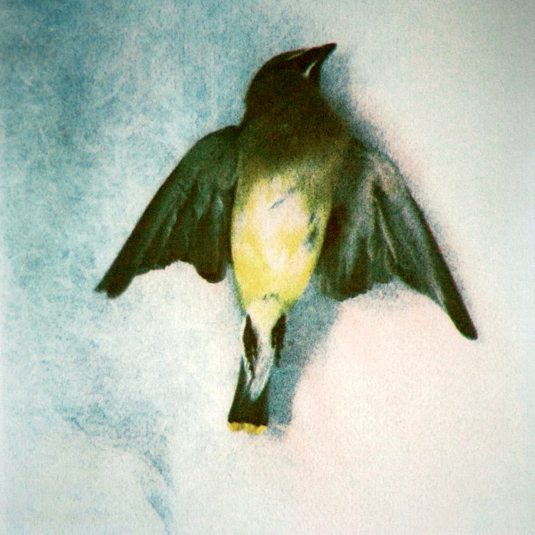 WAXWING,   from the  Still Lives  series.  Tri-color gum bichromate.  Limited edition 4/10