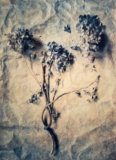 Dried Hydrangea II,  from  The Old Garden  series. 2018  Tri-color gum bichromate over cyanotype.  Limited Edition