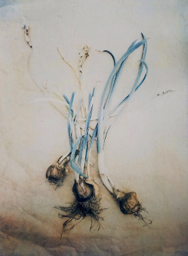 Narcissus Bulbs  2018 (tri-color gum over cyanotype, after adding magenta and yellow pigments)
