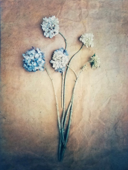 Hydrangea in Bloom , 2018. From  The Old Garden  series.  Limited Edition.  Tri-color gum bichromate over cyanotype