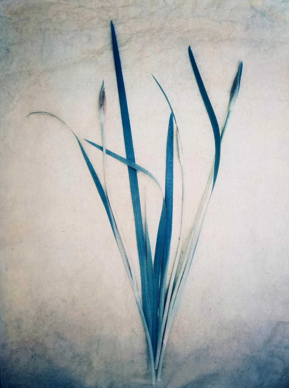 Siberian Iris , from  The Old Garden  series (tri-color gum over cyanotype) ©Diana H. Bloomfield 2018