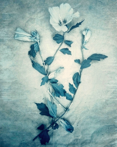 Hibiscus , 2018, from  The Old Garden  series.  Gum bichromate over cyanotype.  Limited Edition 2/10