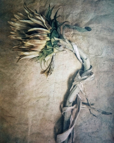 Sunflower , from  The Old Garden  series.  Tri-color gum bichromate over cyanotype.  Limited Edition.