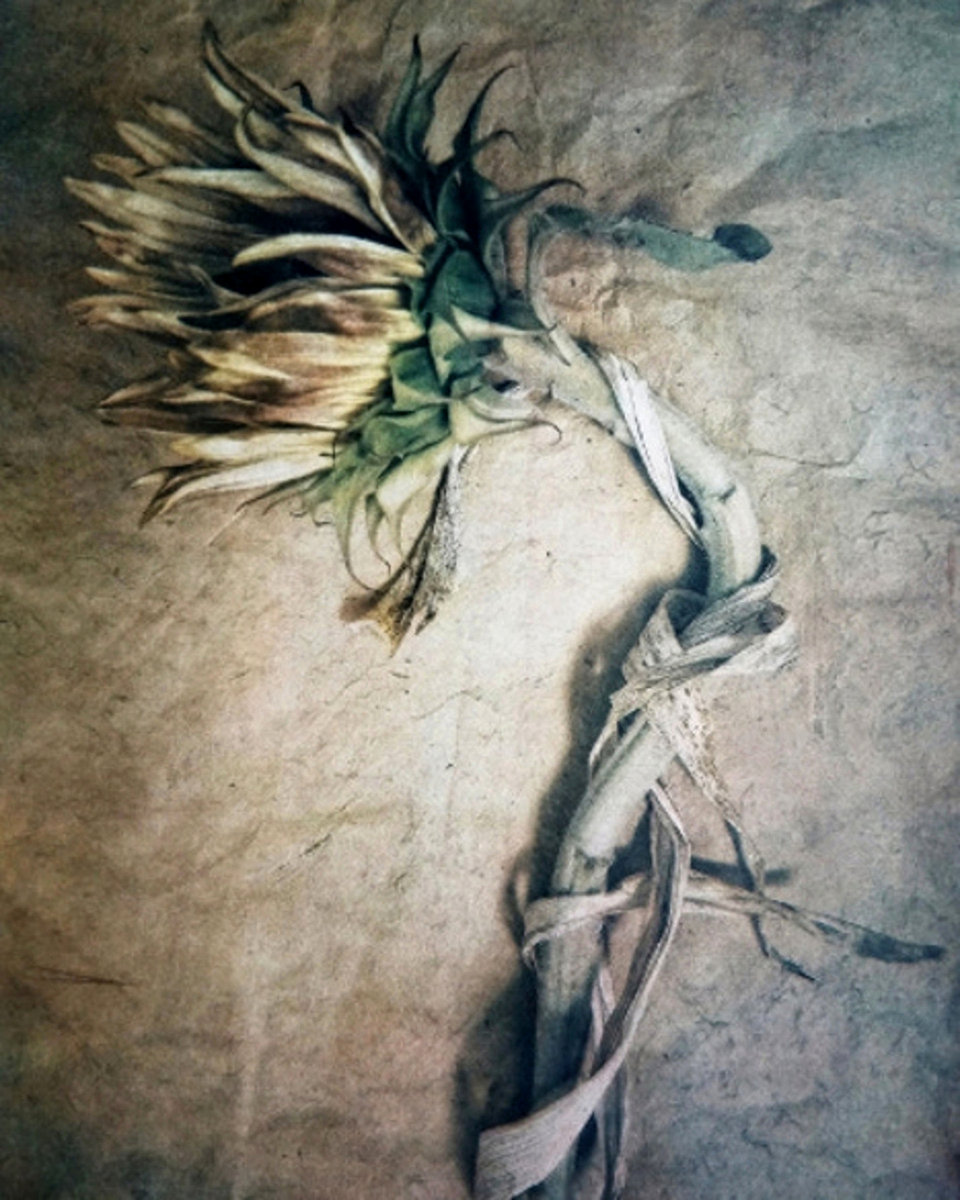 Sunflower  (Tri-color gum bichromate over cyanotype, from   The Old Garden   series. 2018 ©Diana H. Bloomfield