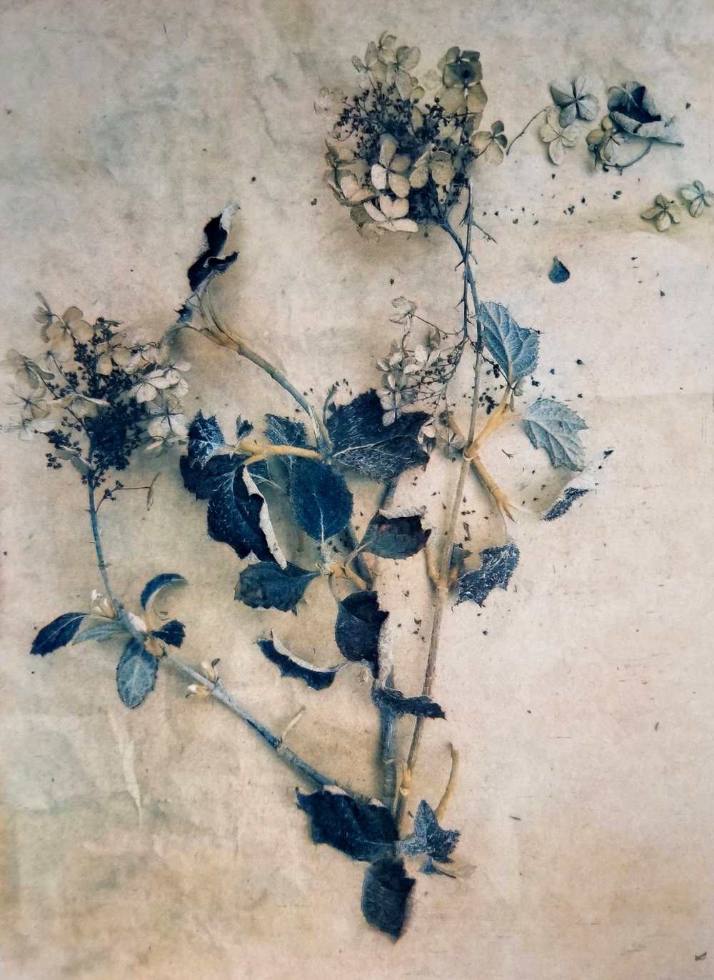Backyard Hydrangea  2018 (Tricolor gum bichromate over cyanotype) ©DH Bloomfield 2018