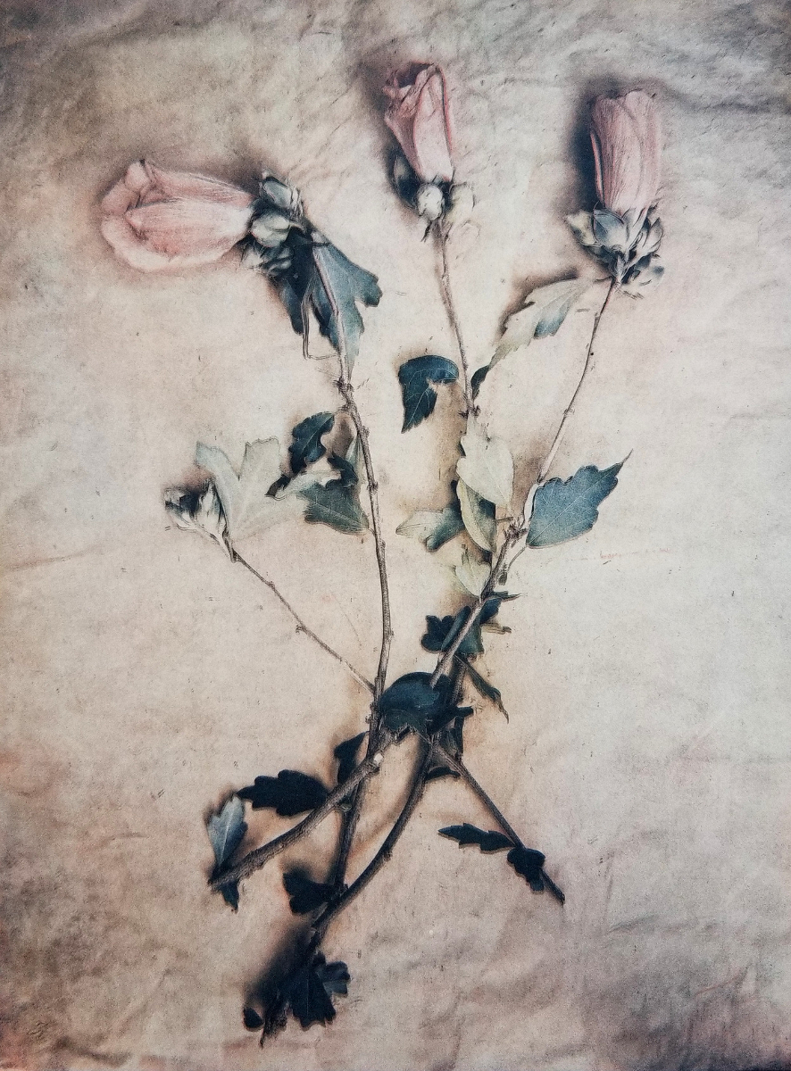 Pink Hibiscus , Tricolor gum bichromate over cyanotype. ©DH Bloomfield 2018