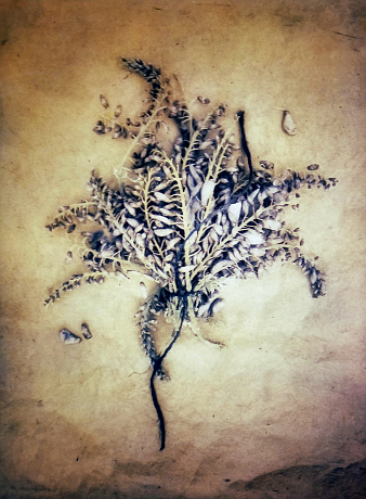 Wisteria , from  The Old Garden  series. 2018    Tricolor gum bichromate over cyanotype.  Limited Edition of 5