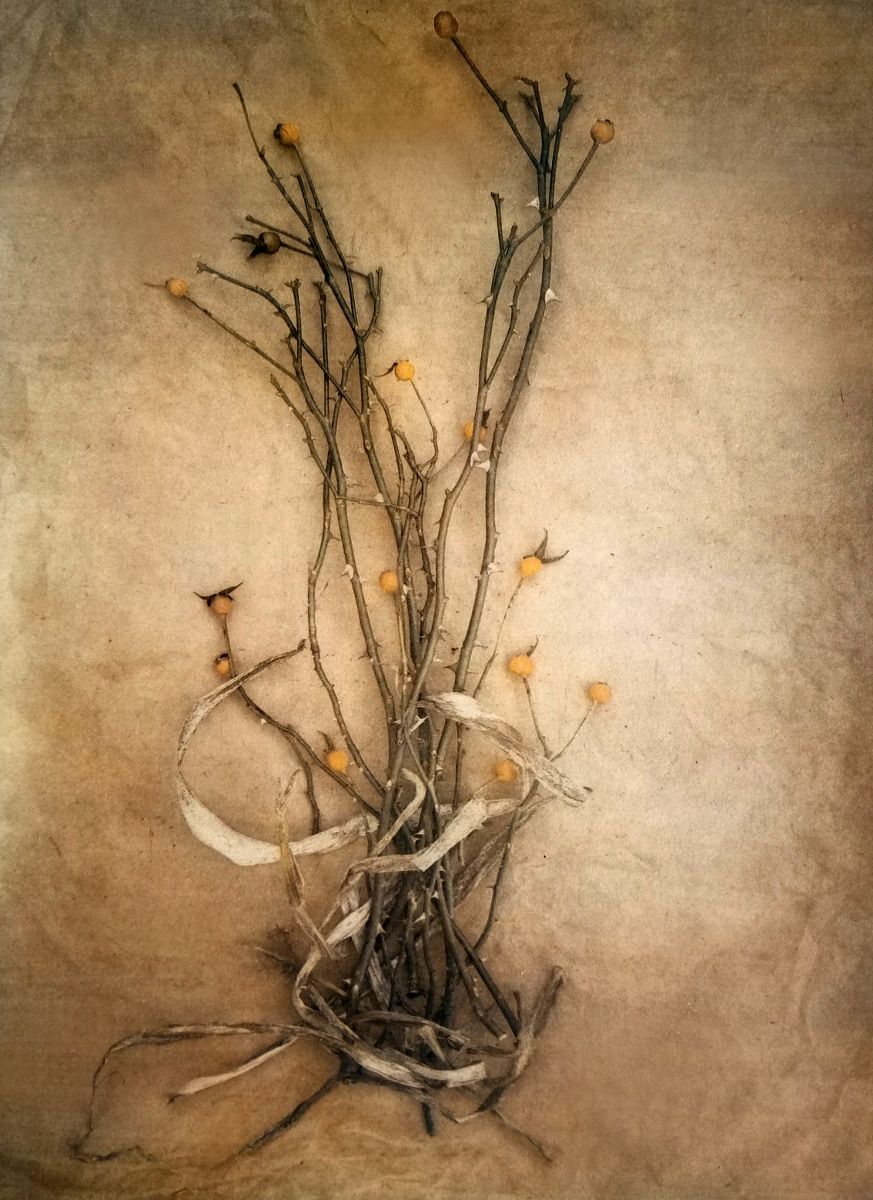 Rose Hips 2019  (Tricolor gum bichromate over cyanotype), from   The Old Garden   series.