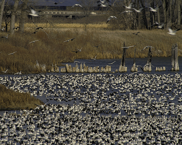 Snow Geese flock by John and Karen Hollingsworth - Courtesy of the National Fish and Wildlife Service
