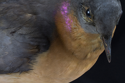 Passenger Pigeon Close-up, Putnam  Museum, Davenport