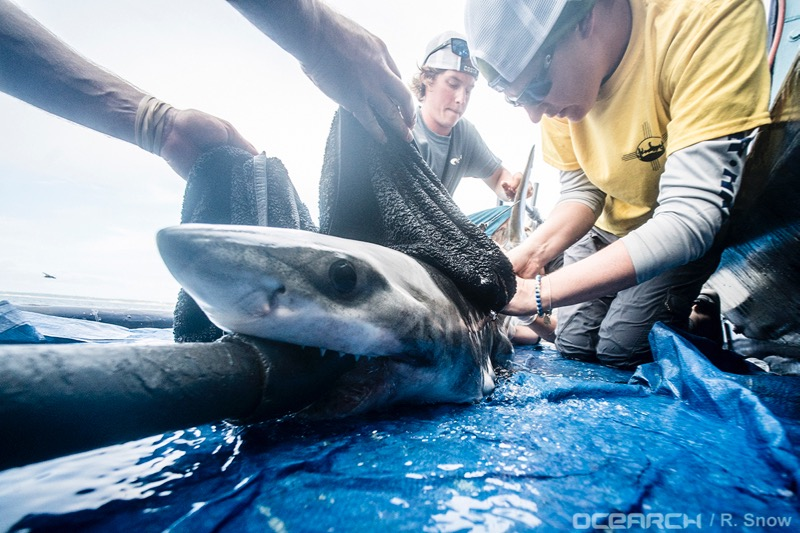 Tagging a juvenile great white shark off Long Island in July.  Photos courtesy of Ocearch