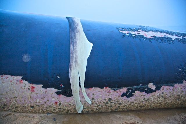 """Joe Pintauro, """"Fare Well, Fair Whale"""", photograph"""