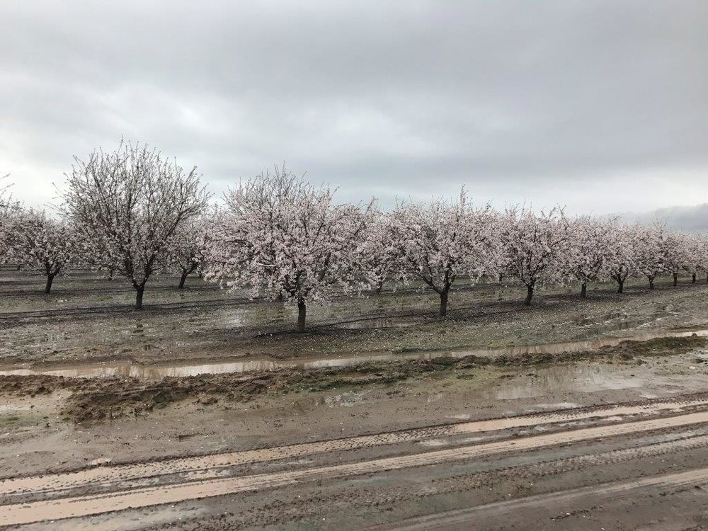 East side Nonpareil orchard.  Atwater.  February 20, 2017