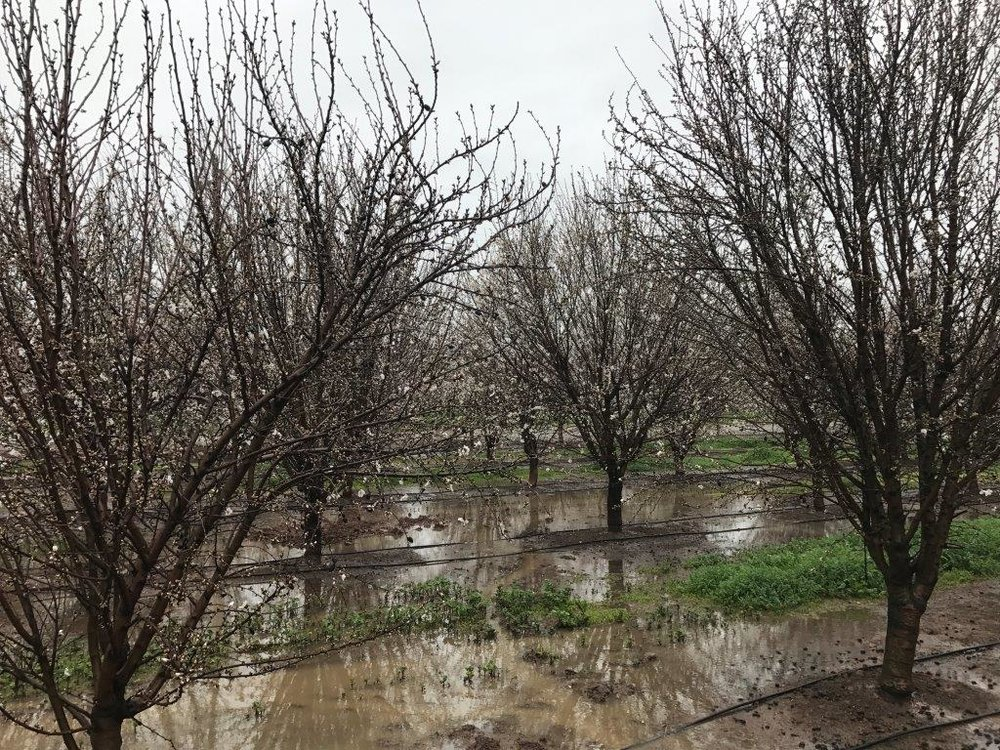 East side Butte/Padre Orchard.  Merced.  February 20