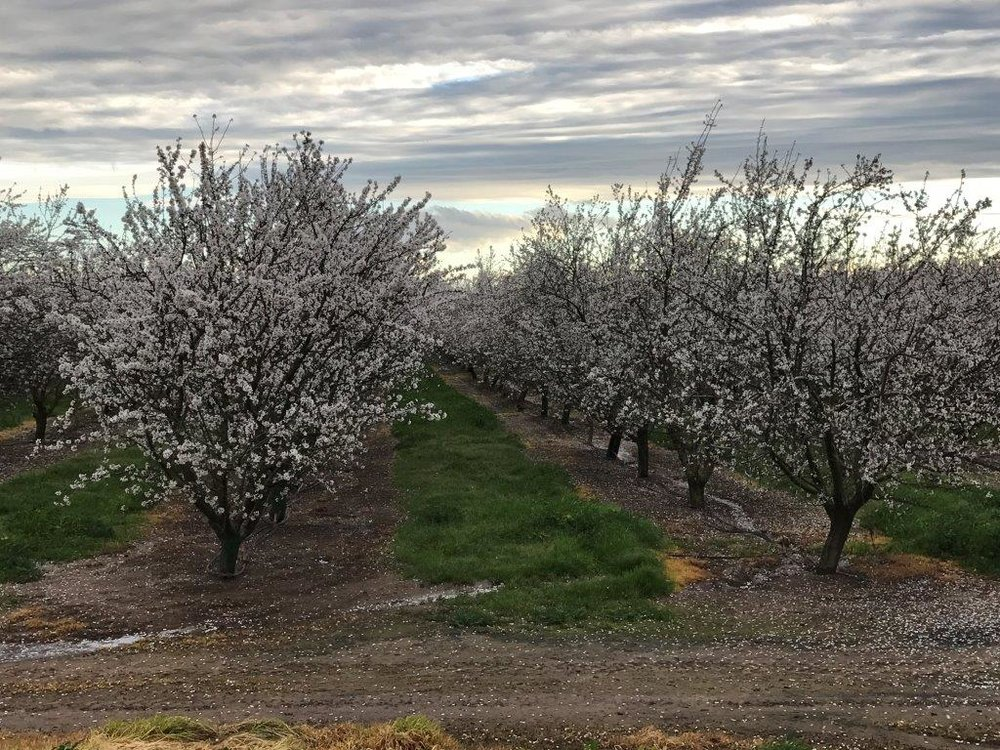 East side foothills Nonpareil orchard.  February 20