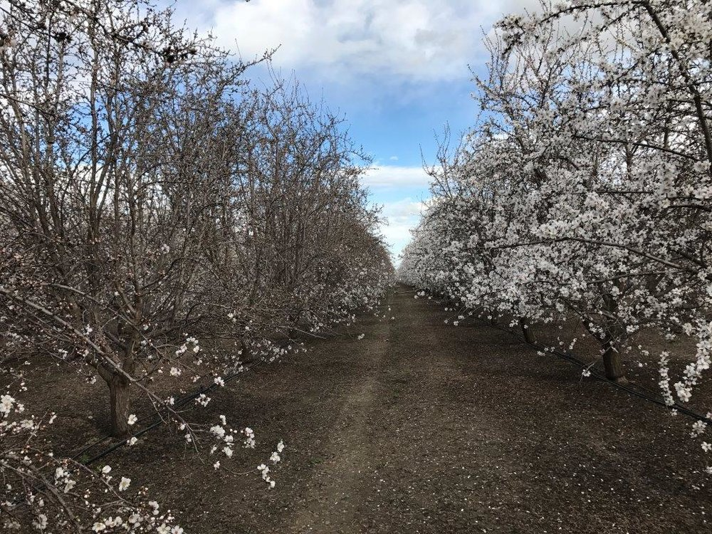 West side Butte/Padre orchard, west of Firebaugh.  February 22