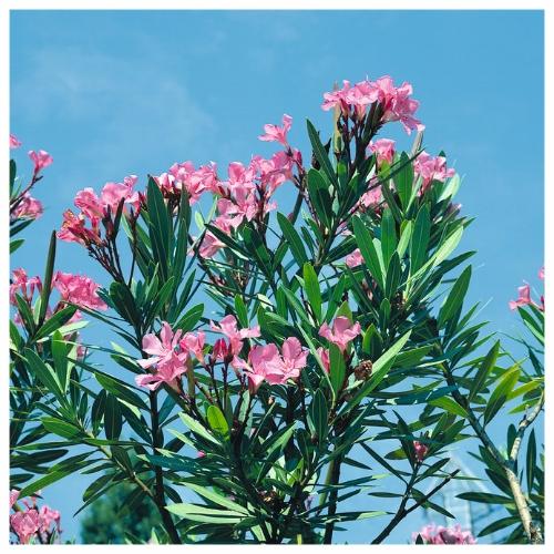 Oleander - Pink