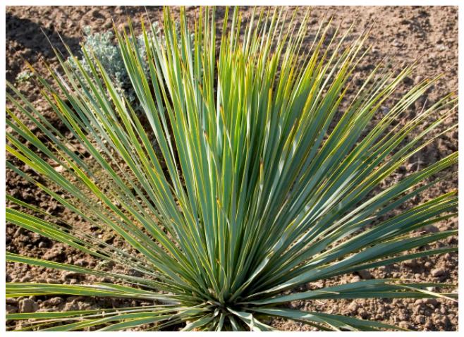 Blue Beaked Yucca