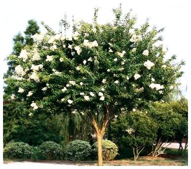 Natchez Crepe Myrtle - White