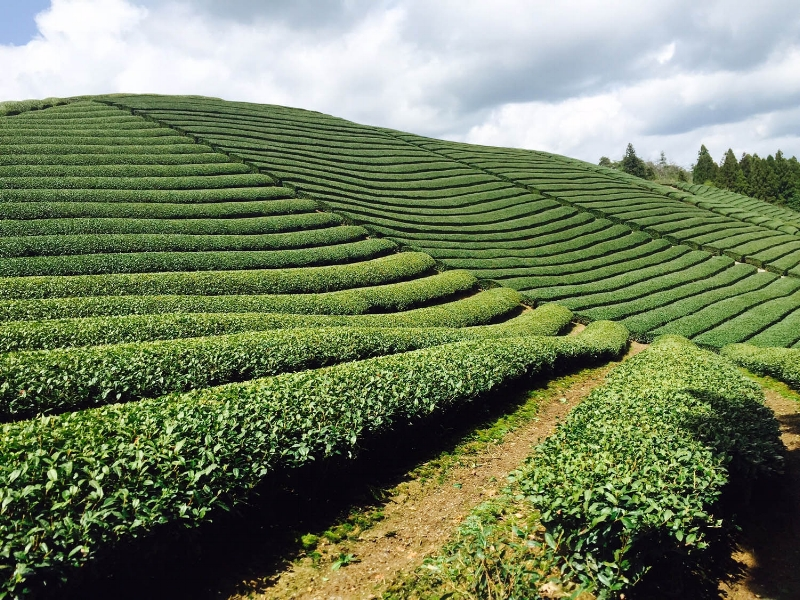 Tea farm in Wazuka