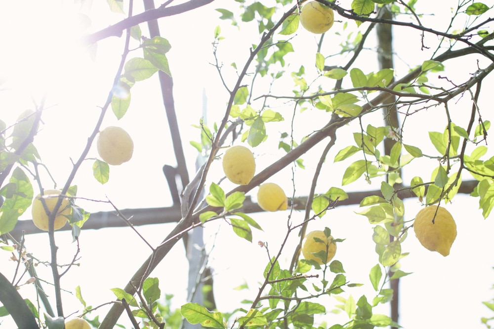 The Amalfi Coast and Sorrento in particular is known for its citrus. We got to visit an organic lemon grove in the city where they also experiment with grafting orange branches onto the lemon trees. The amount of lemons everywhere is unreal!