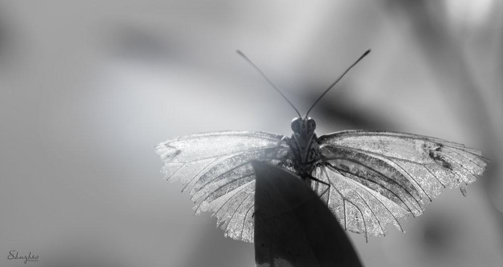 Durham_MuseumL&S2_ButterflyTornWings_Edited_5222017.jpg