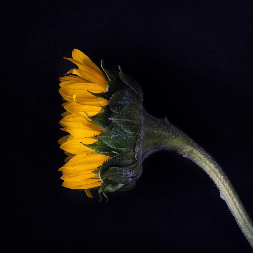 Durham_801_Sunflower_LightWork_7172018.jpg