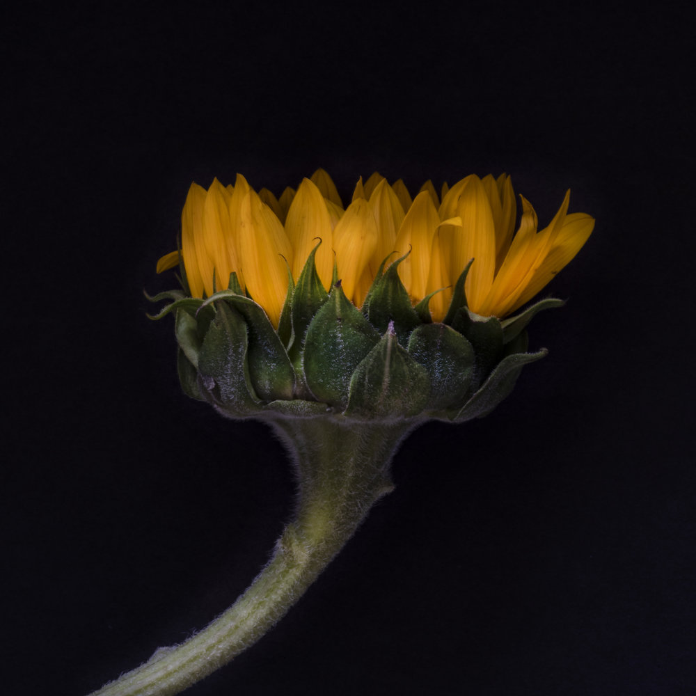 Durham_801_Sunflower_LightWork2_7172018.jpg