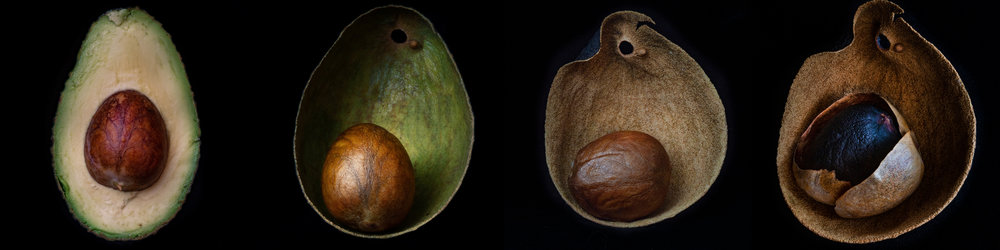 Avocado_4Stages_Flat.jpg