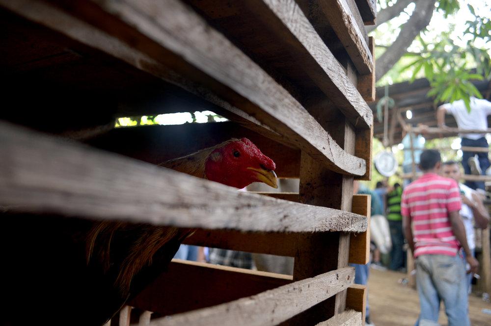 edit hen in a cage.jpg